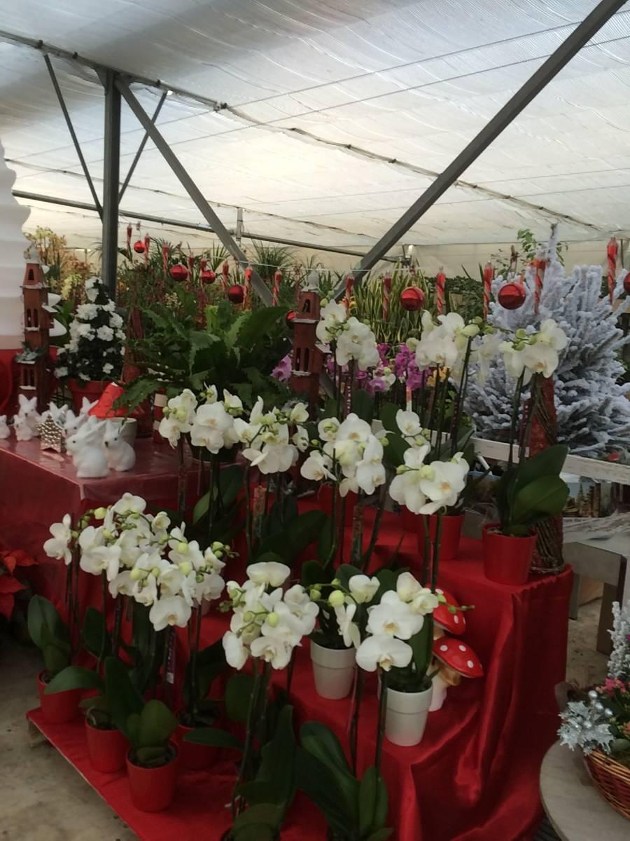 les orchid es de notre p pini re aubagne vente fleurs et plantes aubagne la p pini re d. Black Bedroom Furniture Sets. Home Design Ideas