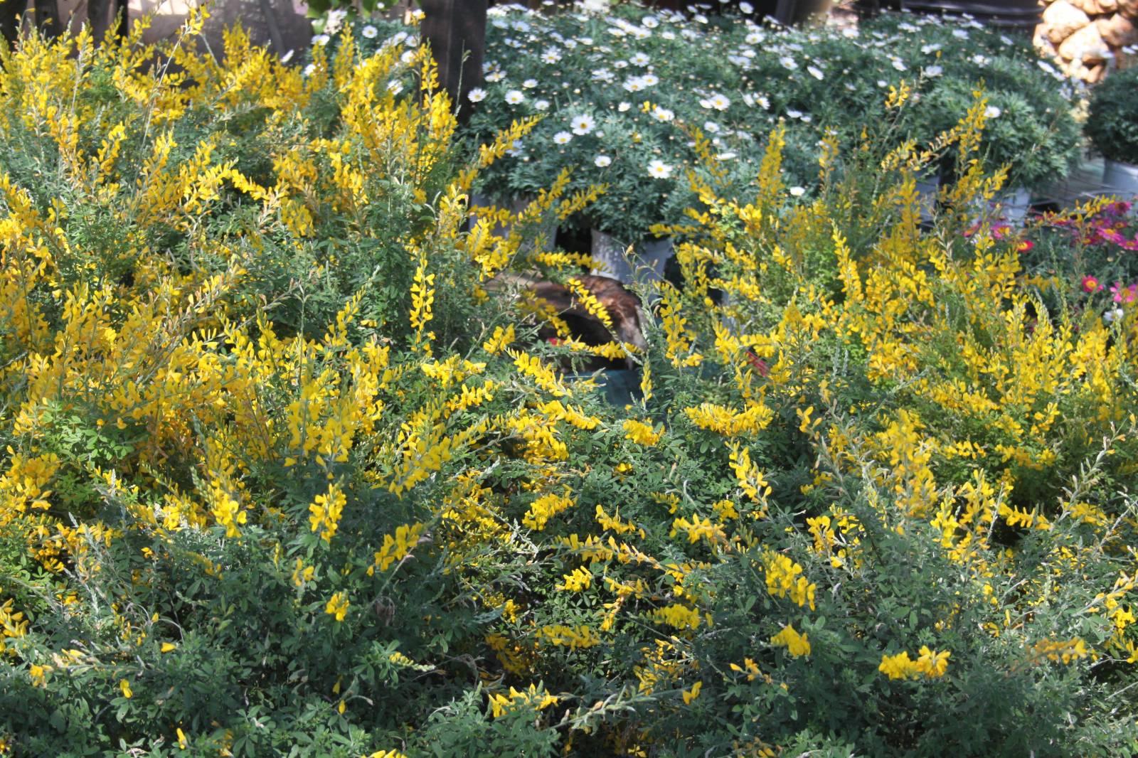 Les arbustes fleurs vente fleurs et plantes aubagne for Vente plantes arbustes