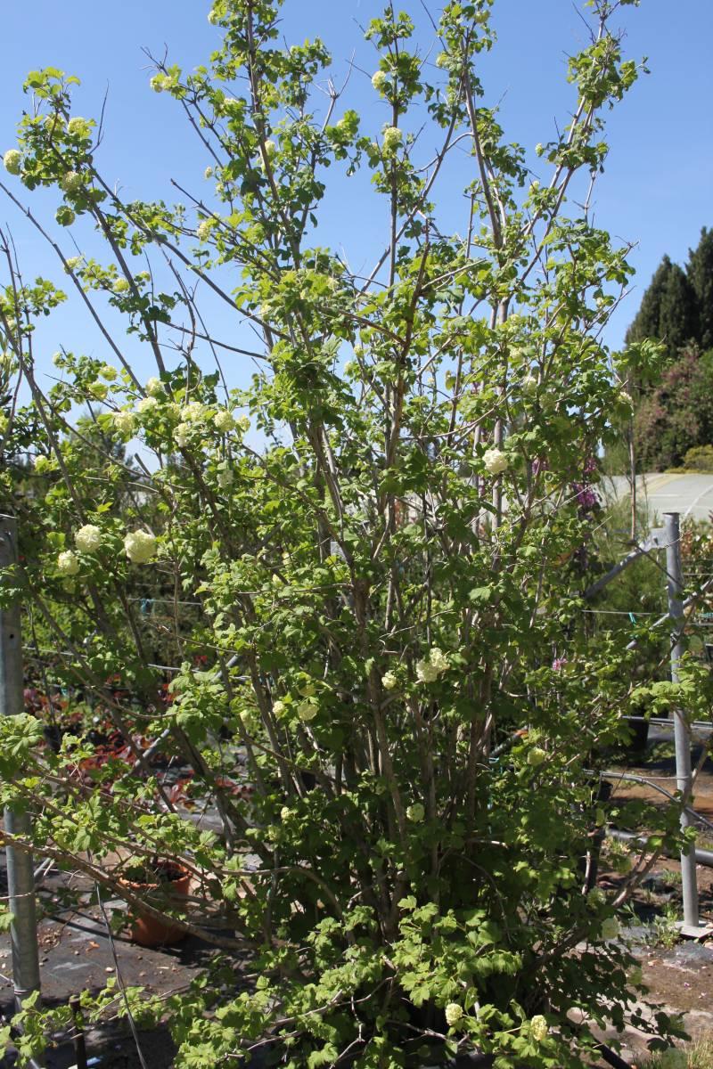 Les arbustes fleurs vente fleurs et plantes aubagne for Plantes et arbustes